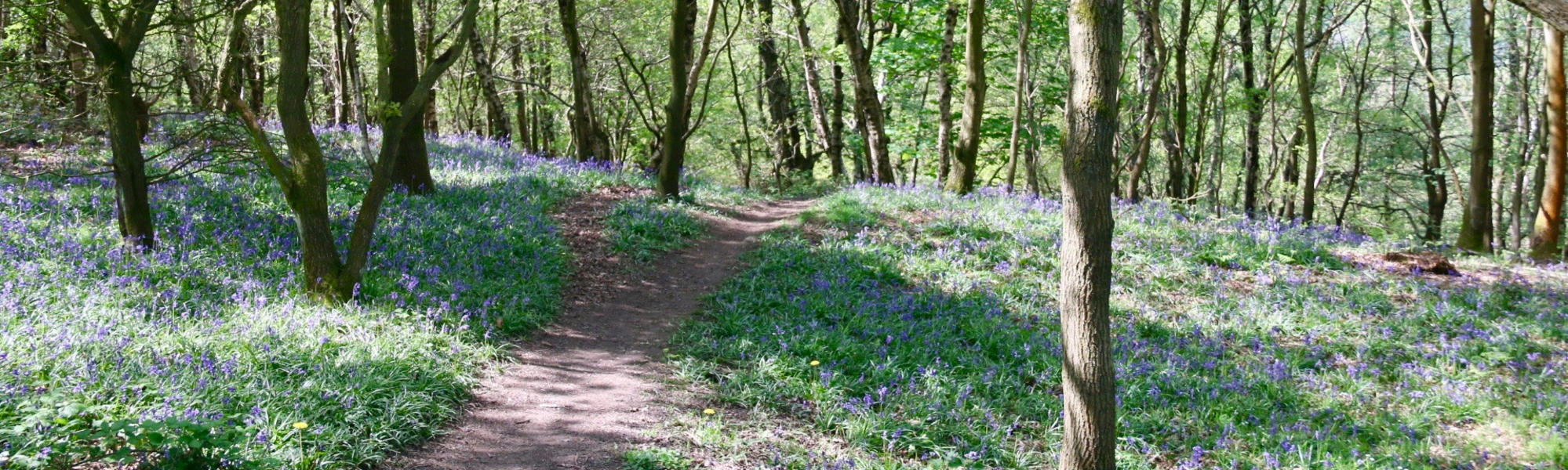 Bluebells in Chase woods