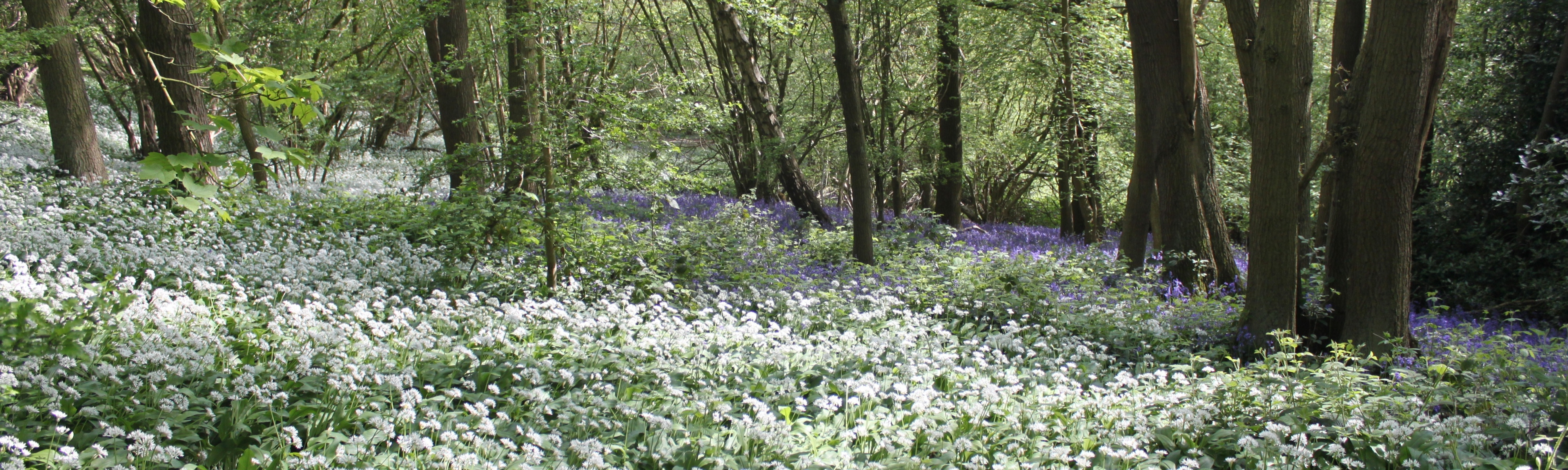 Wild garlic in bloom in Crich Chase by Geoff Brown