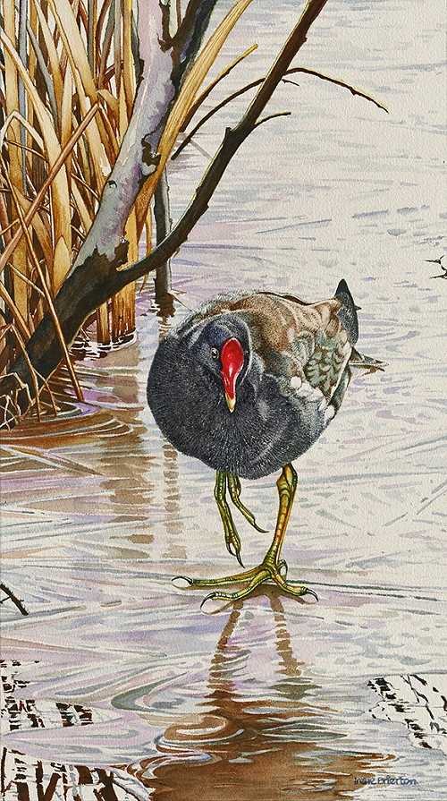painting of a morehen by Irene Brierton