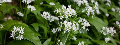 Wild garlic in flower by Getty images