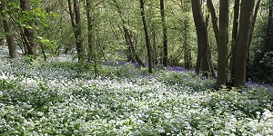 Wild garlic in Chase woods